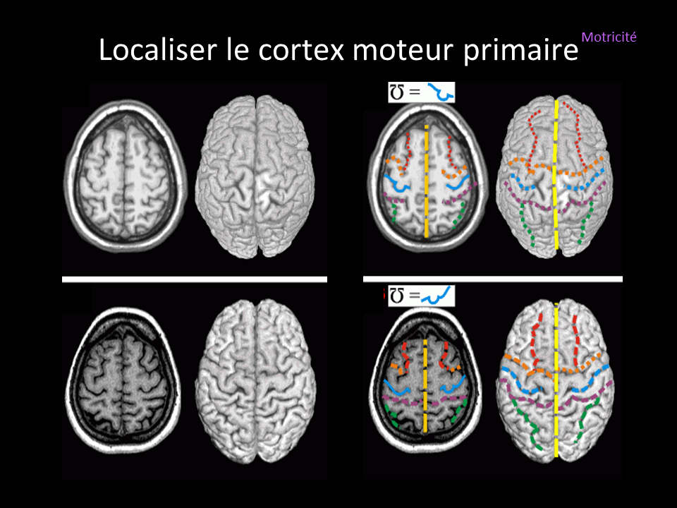 Cortex_Moteur